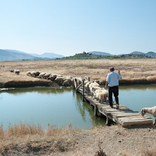 A Shepherd Is Leading His Flock on a Wooden Bridge to Pasture - East European Tour Packages