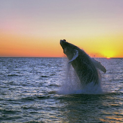 Humpback Midnight Jump Fixed - Iceland Travel Packages from India