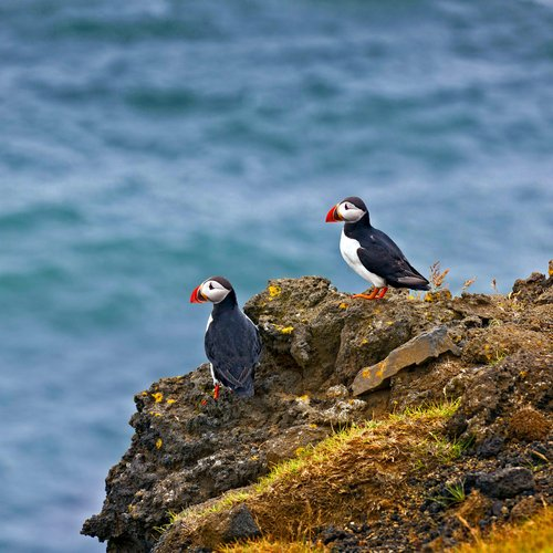 lundi-puffin-macareux-photo;ragnarthsigurdsson - Iceland Honeymoon Packages from India